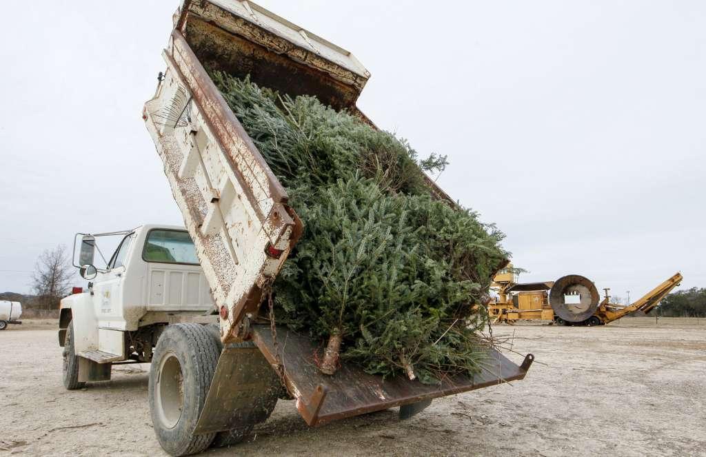 Zber vianočných stromčekov